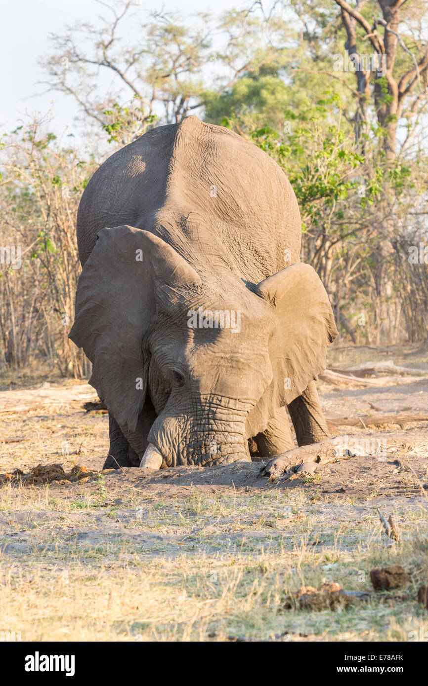 African elephant in Okavango Delta, Botswana, southern Africa displaying unusual behaviour, digging a hole with - Stock Image