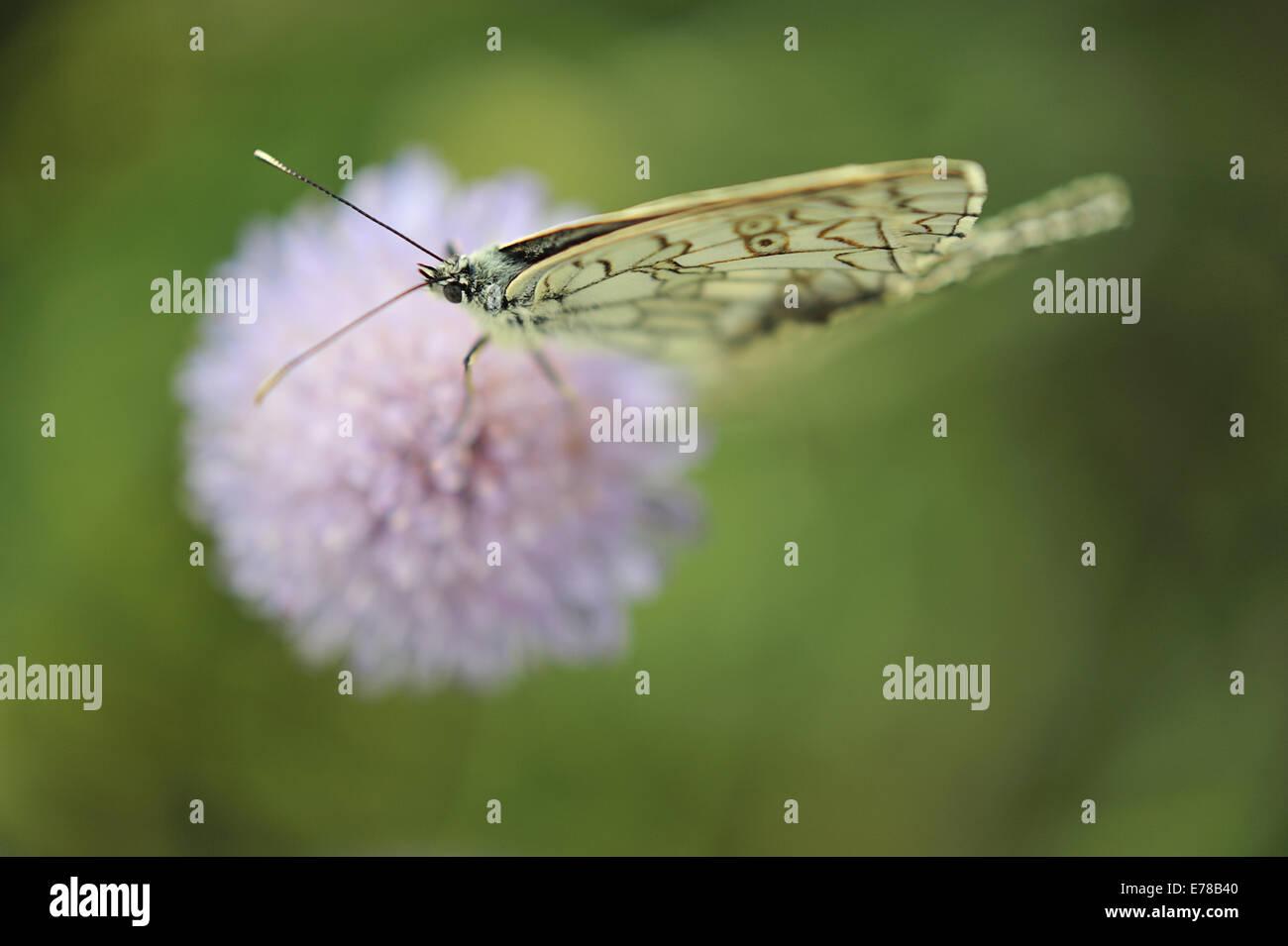 Italian Marbled White, Melanargia arge, Nymphalidae, Rascino Highplane, Rieti, Lazio, Italy, Europe - Stock Image