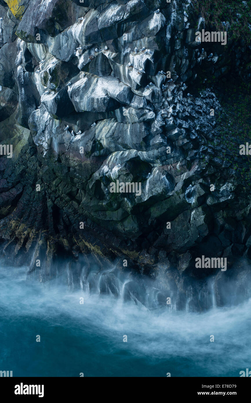 kittiwakes nesting on the cliffs at Pufubjarg, Snaefellsnes Peninsula, western Iceland - Stock Image