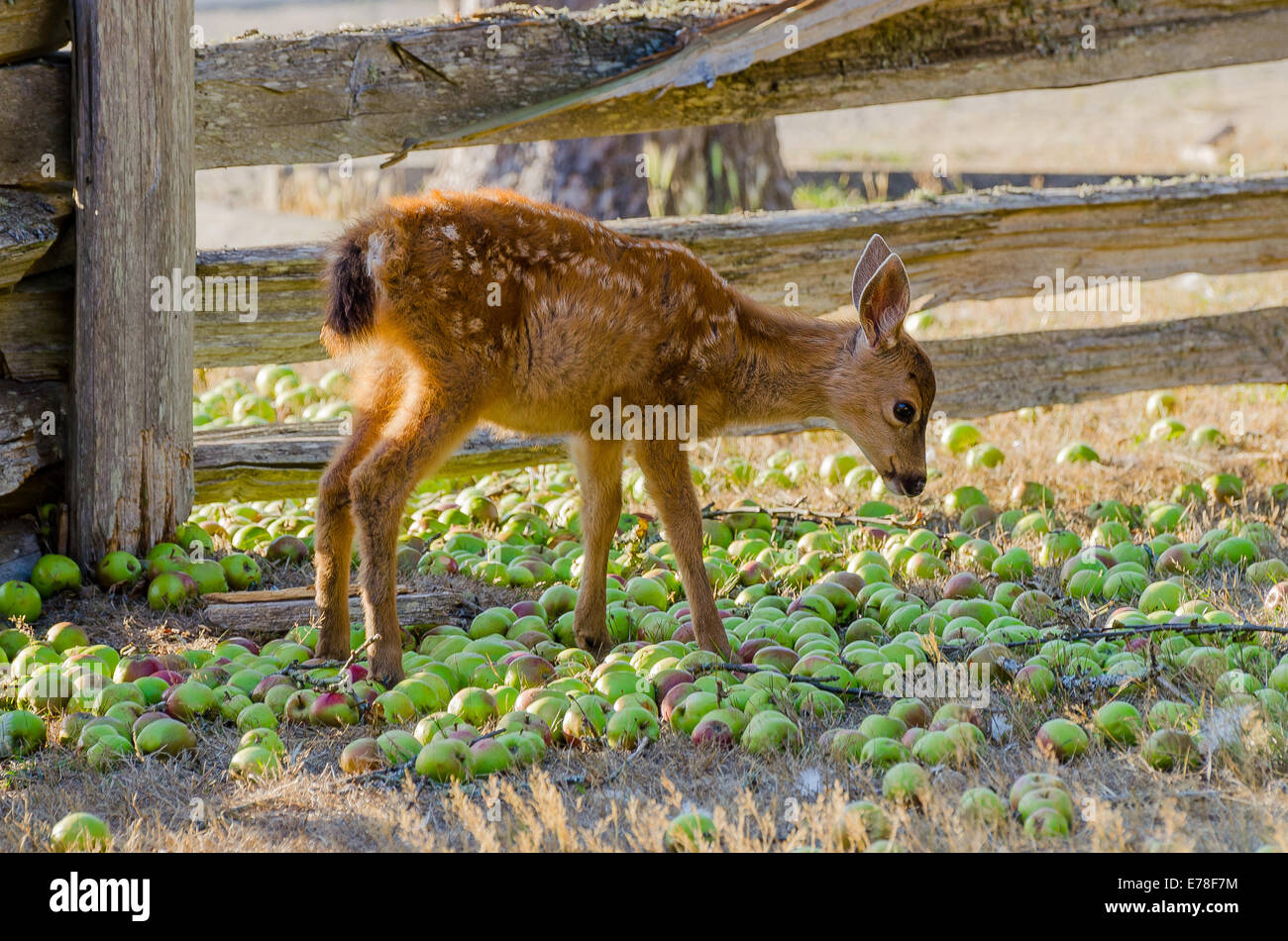 Young deer eating apples at the Ruckle farm, Ruckle Provincial Park, Salt spring Island, British Columbia, Canada - Stock Image