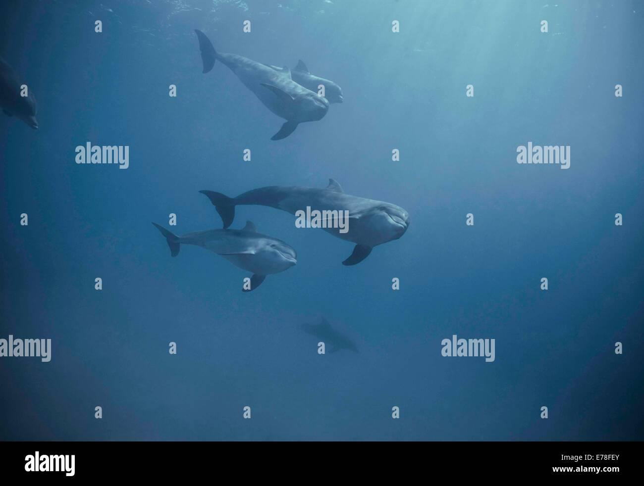 Bottlenose dolphins (Tursiops truncatus). Dolphin reef, Eilat, Israel, Red Sea Stock Photo