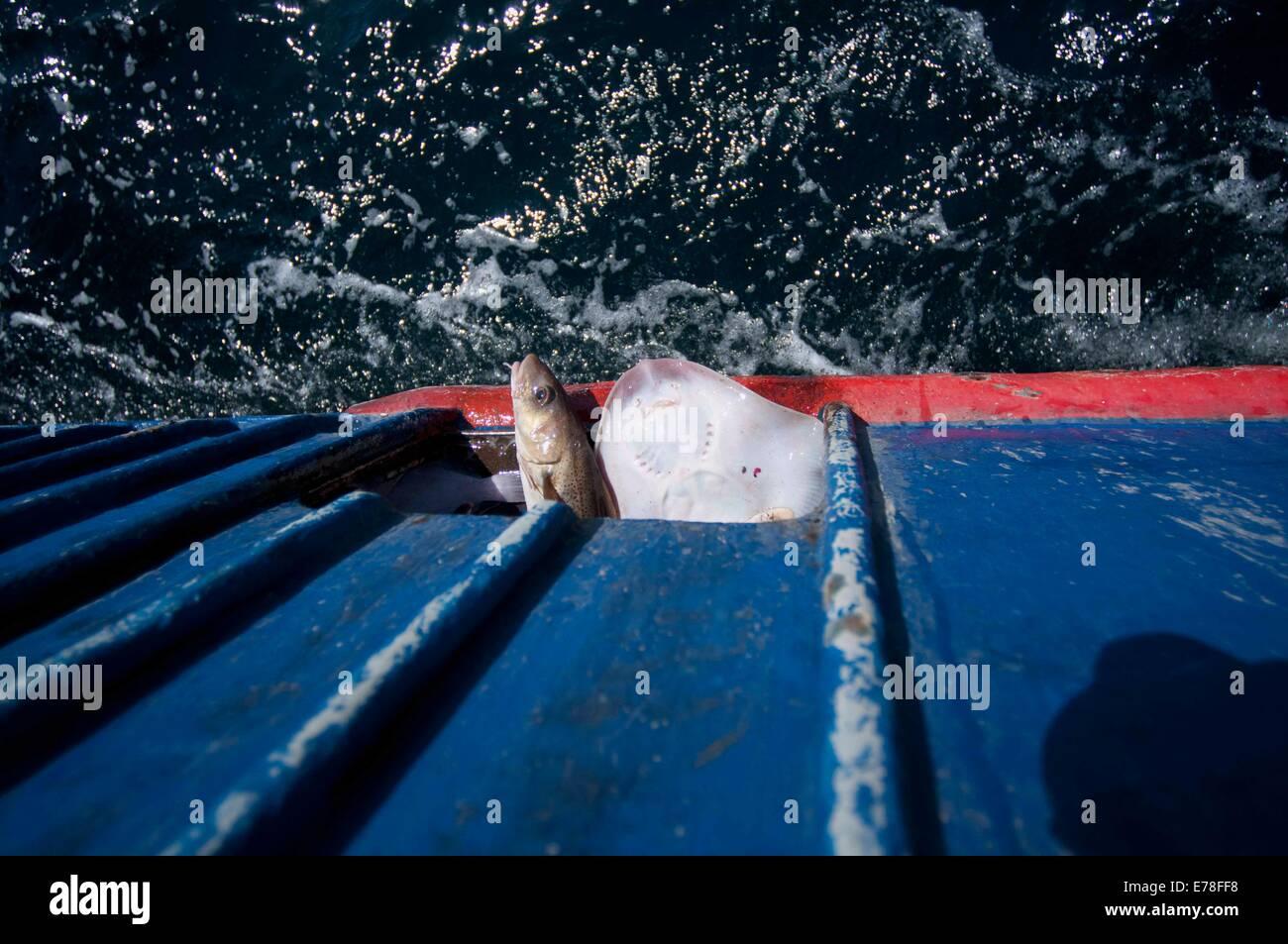 Bycatch - Little Skates (LEUCORAJA ERINACEA) and Atlantic Cod fish (Gadus morhua) - returning to ocean from fishing Stock Photo