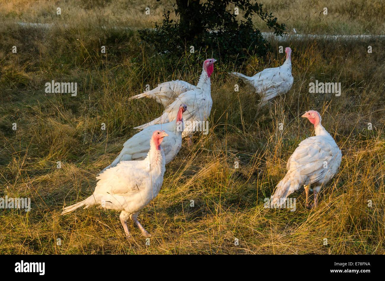 Turkeys, the Ruckle Farm, Ruckle Provincial Park, Salt spring Island, British Columbia, Canada - Stock Image