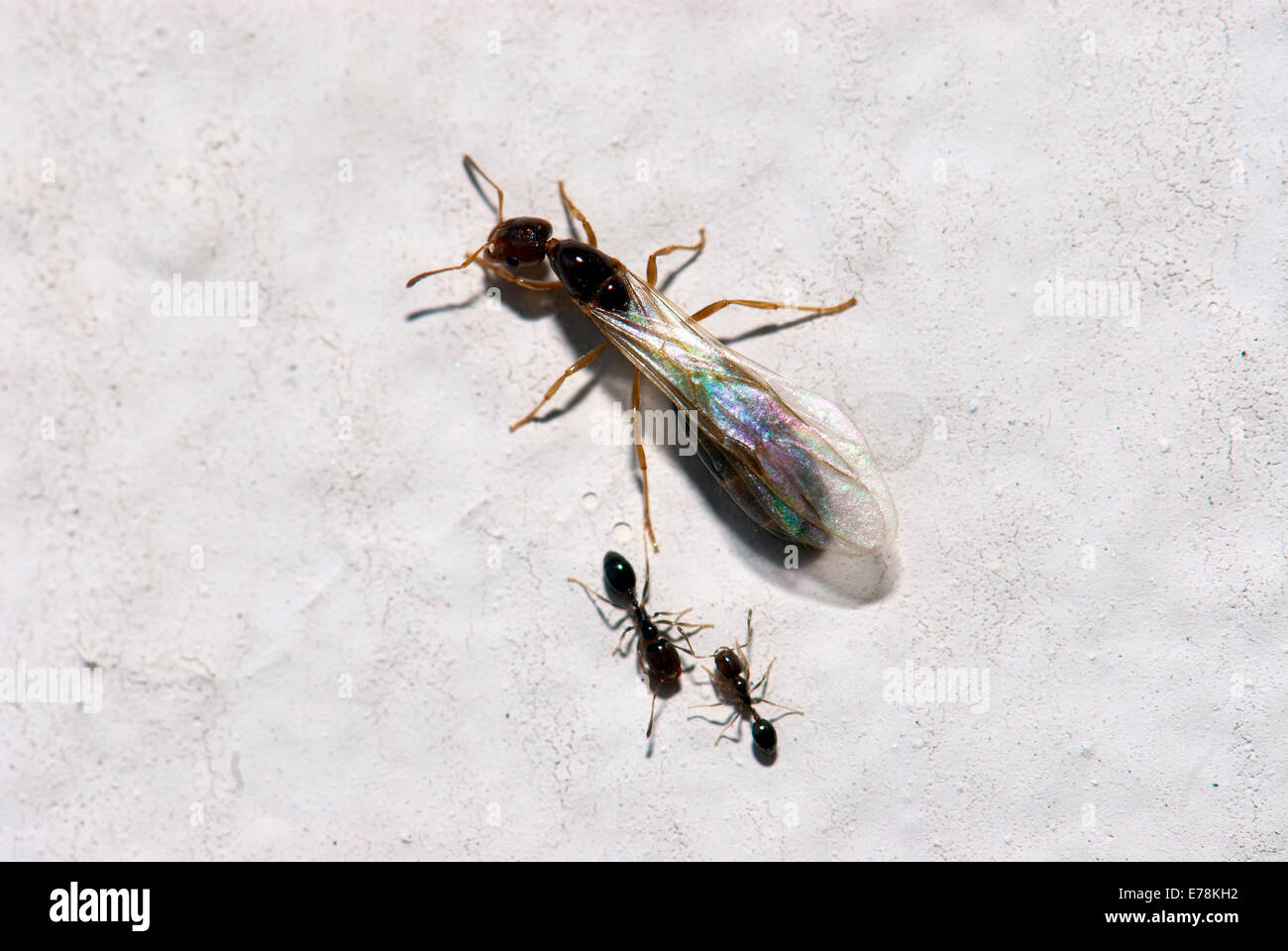 Ant wings - Stock Image