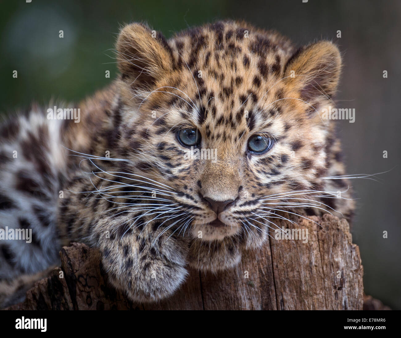Female Amur leopard cub leaning on tree stump - Stock Image