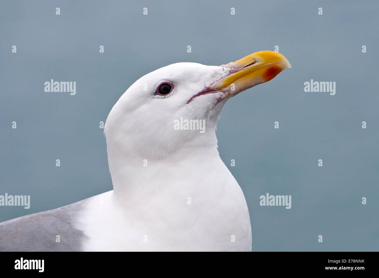 Thayer's gull , Larus thayer, Alaska, USA - Stock Image