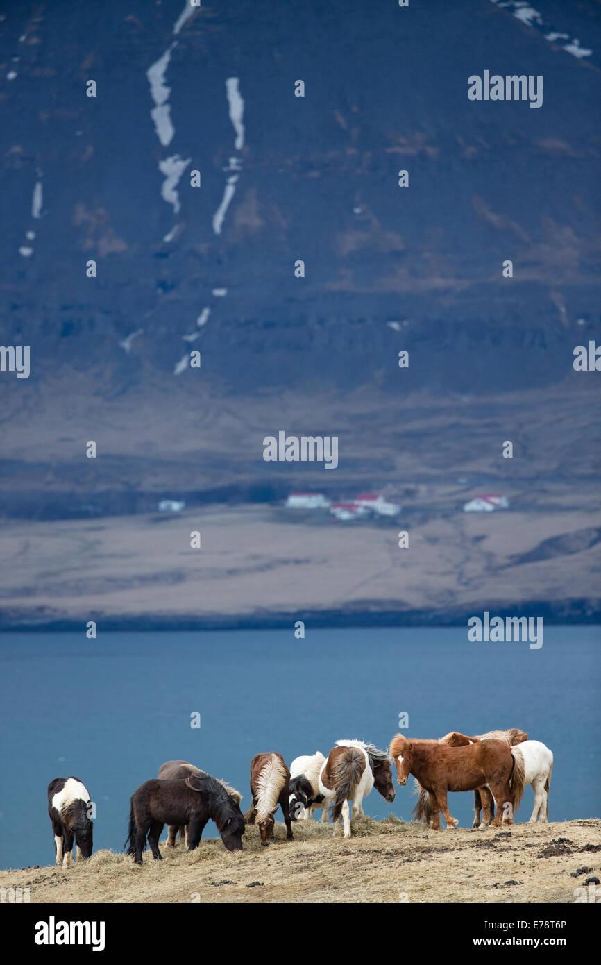 Iceland Ponies on coast outside Reykjavik, Iceland - Stock Image