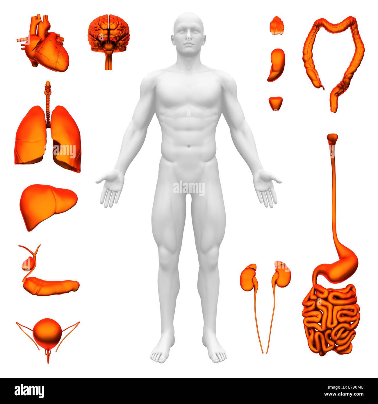 Internal organs - Human anatomy - Stock Image