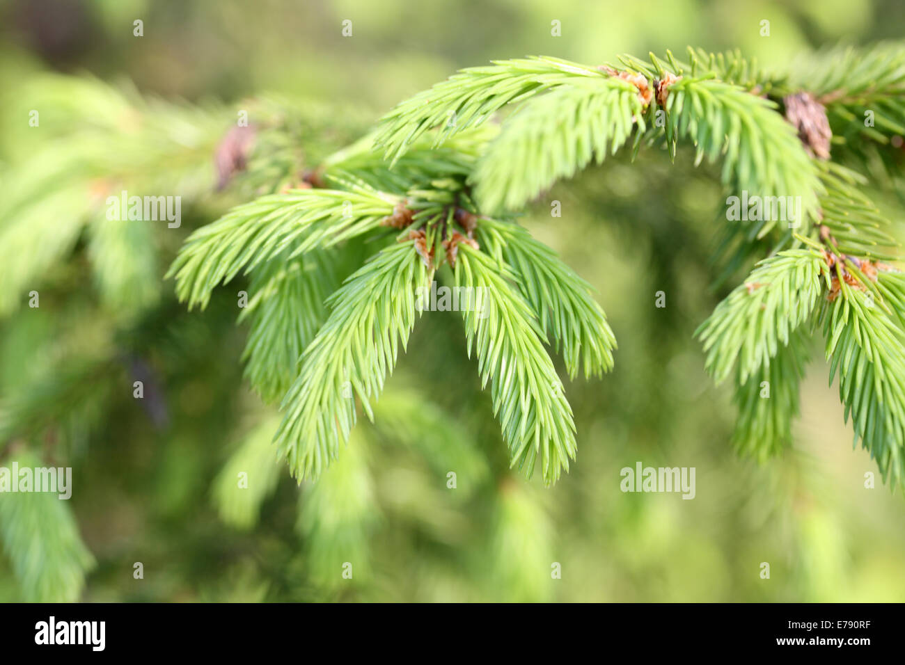 Spruce branch close-up - Stock Image