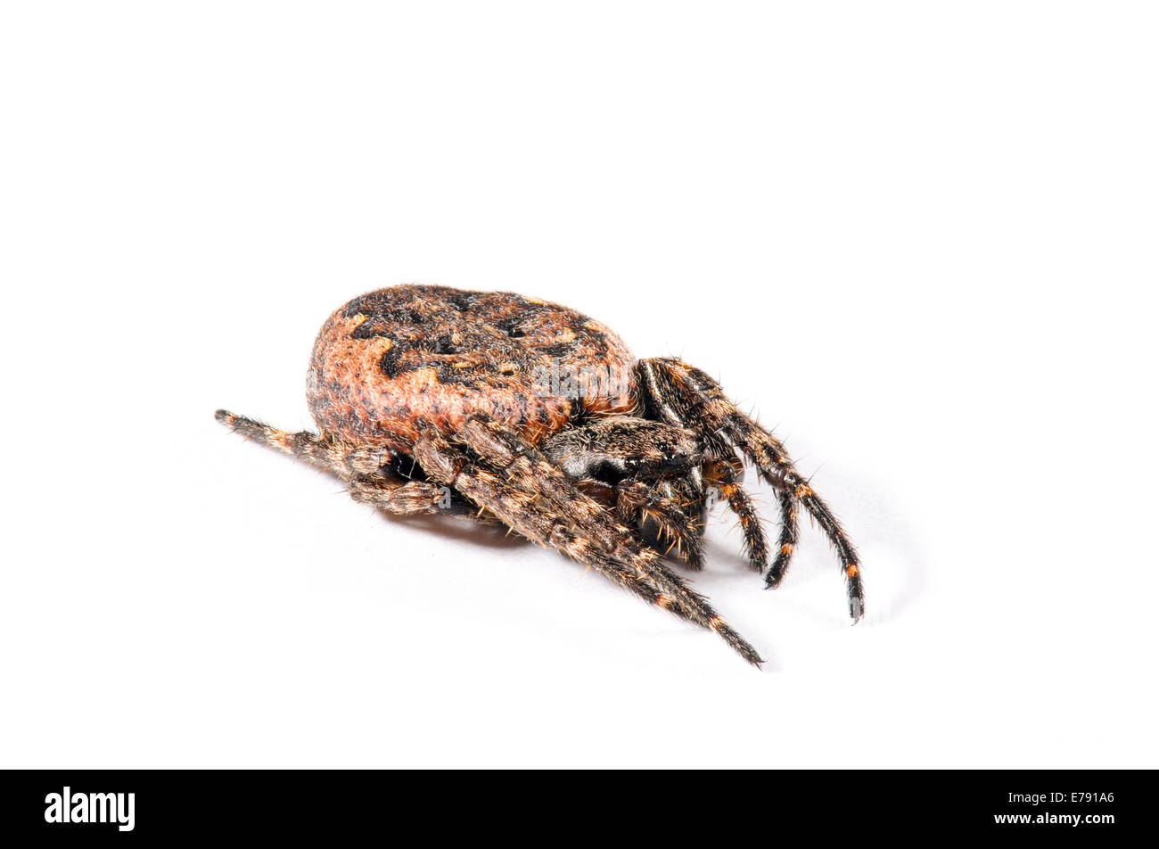 Walnut orb-weaver spider (Nuctenea umbratica) adult female photographed against a white background in Sowerby, North - Stock Image