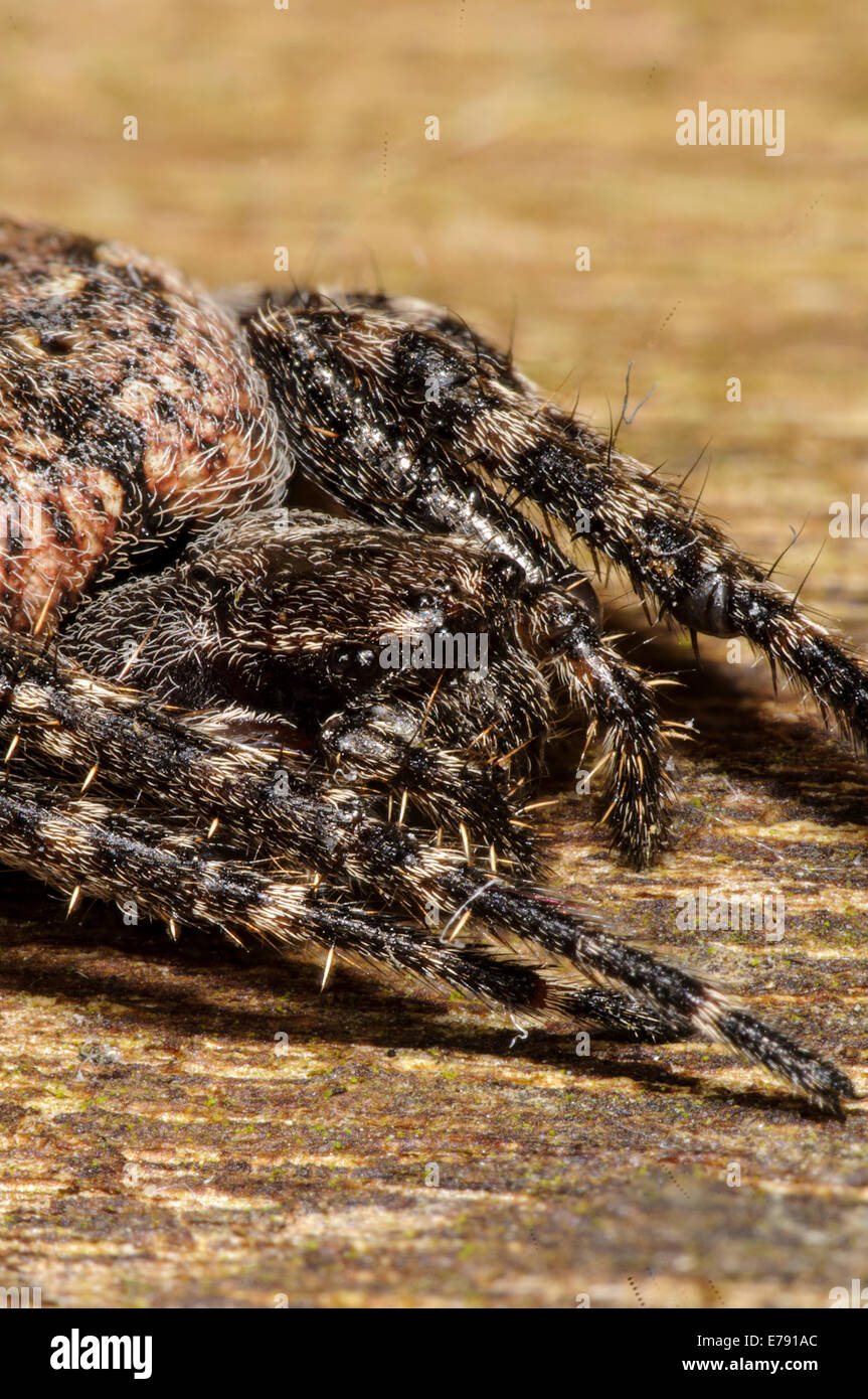 Walnut orb-weaver spider (Nuctenea umbratica) adult female on a piece of dead wood in a garden in Sowerby, North - Stock Image