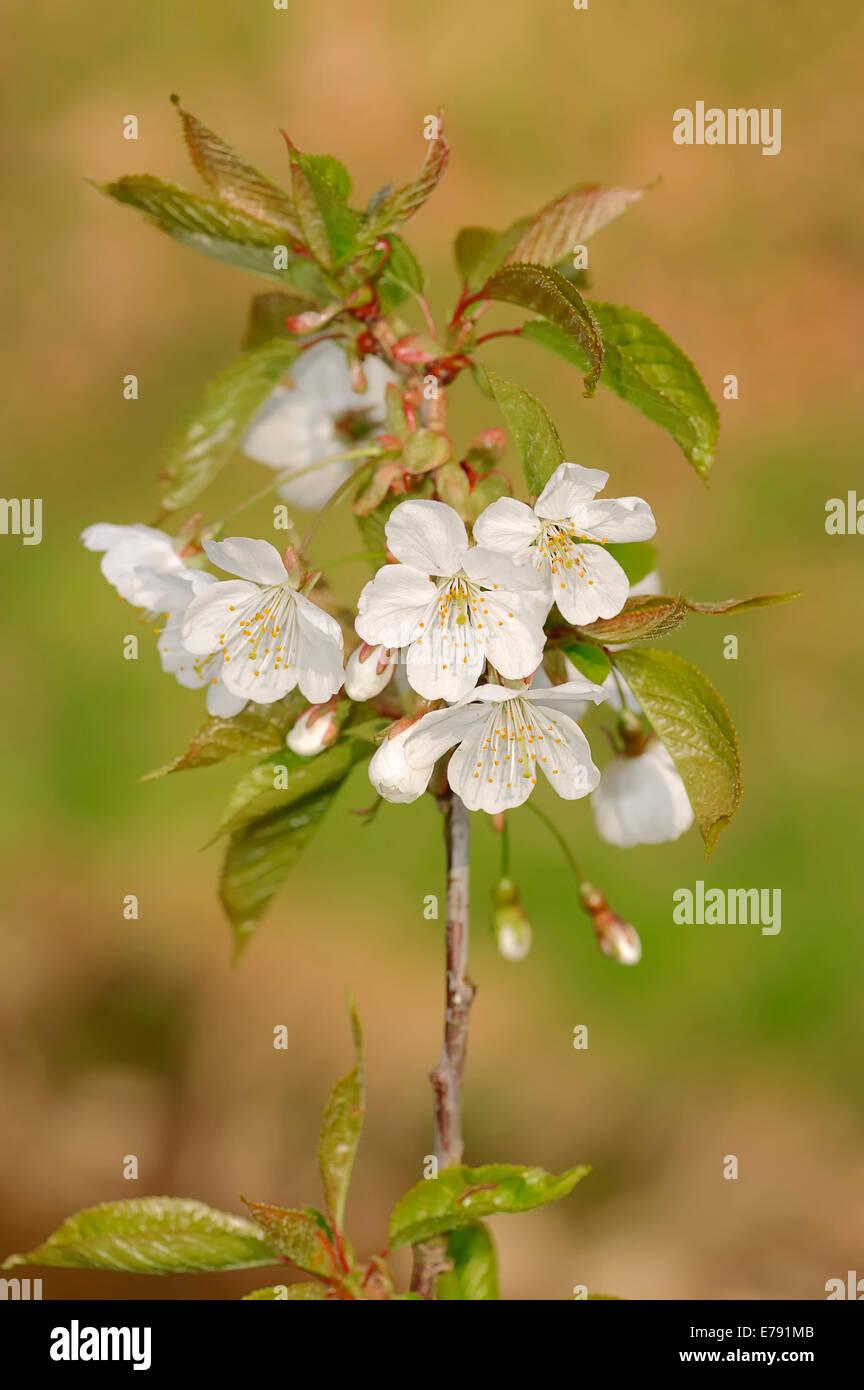 Bird cherry (Prunus avium), twig with flowers, North Rhine-Westphalia, Germany - Stock Image