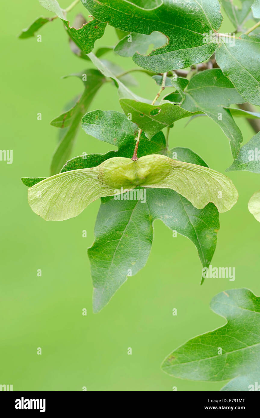 Field Maple (Acer campestre), leaves and fruit, North Rhine-Westphalia, Germany - Stock Image