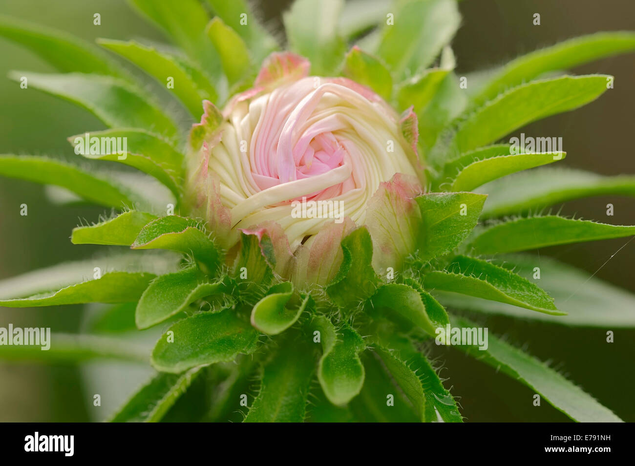 Annual Aster (Callistephus chinensis, Aster chinensis), flower bud, Germany - Stock Image