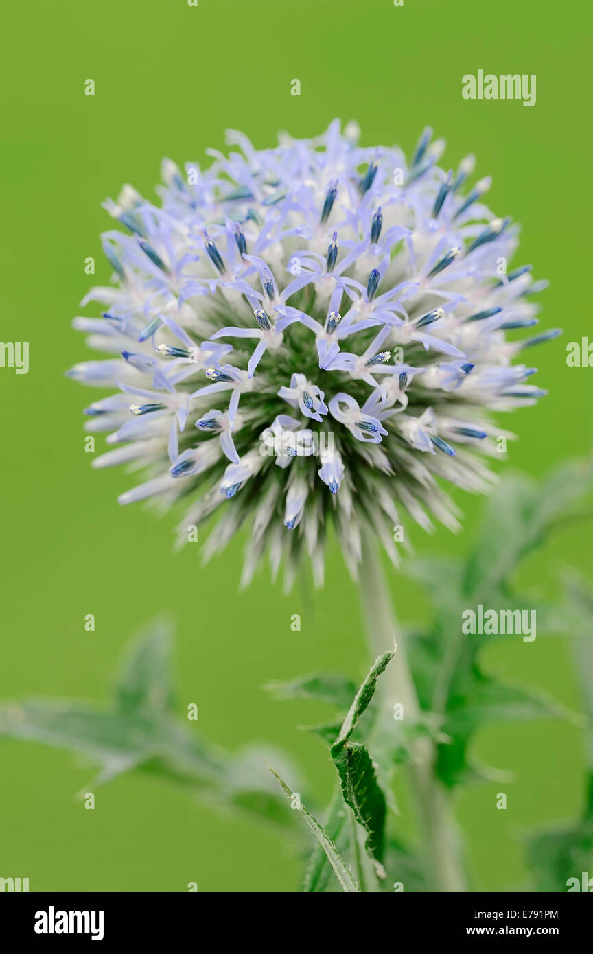 Small Globe Thistle (Echinops ritro), Southern France, France - Stock Image