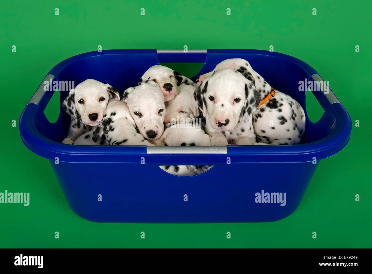 Dalmatian puppies, 6 weeks in a tub - Stock Image