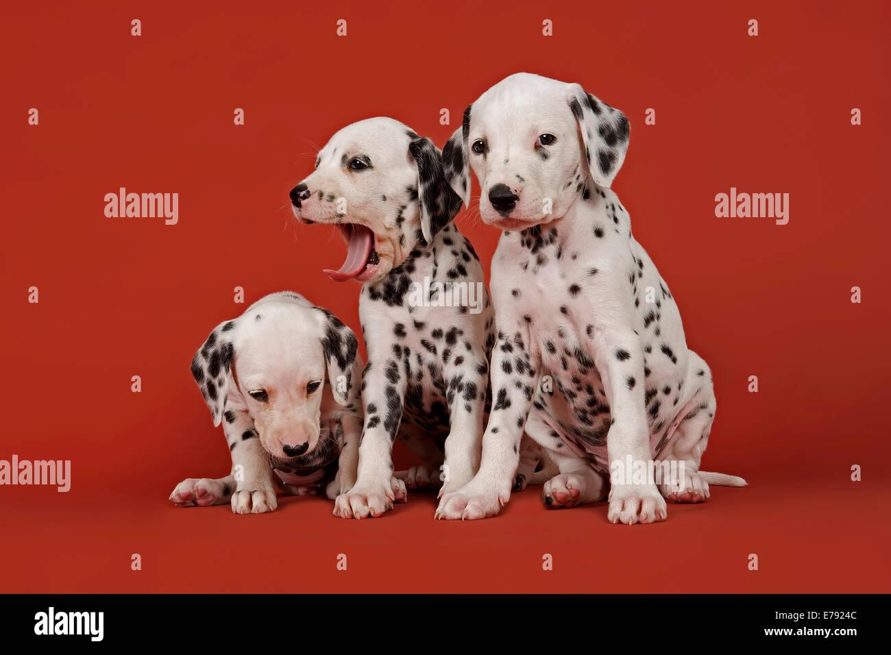 Three Dalmatian puppies, 6 weeks - Stock Image