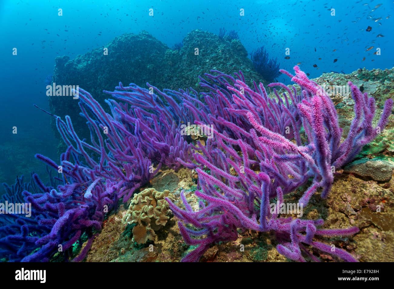 Red sea whips (Ellisella sp.) on a coral reef, Dimaniyat Islands nature reserve, Al Batinah region, Oman - Stock Image
