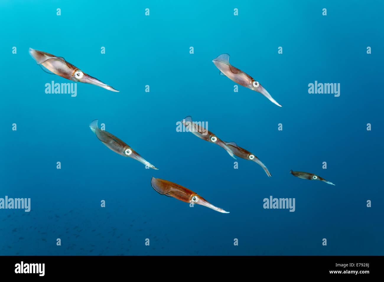 Bigfin reef squid (Sepioteuthis lessoniana), Dimaniyat Islands nature reserve, Al Batinah region, Oman - Stock Image