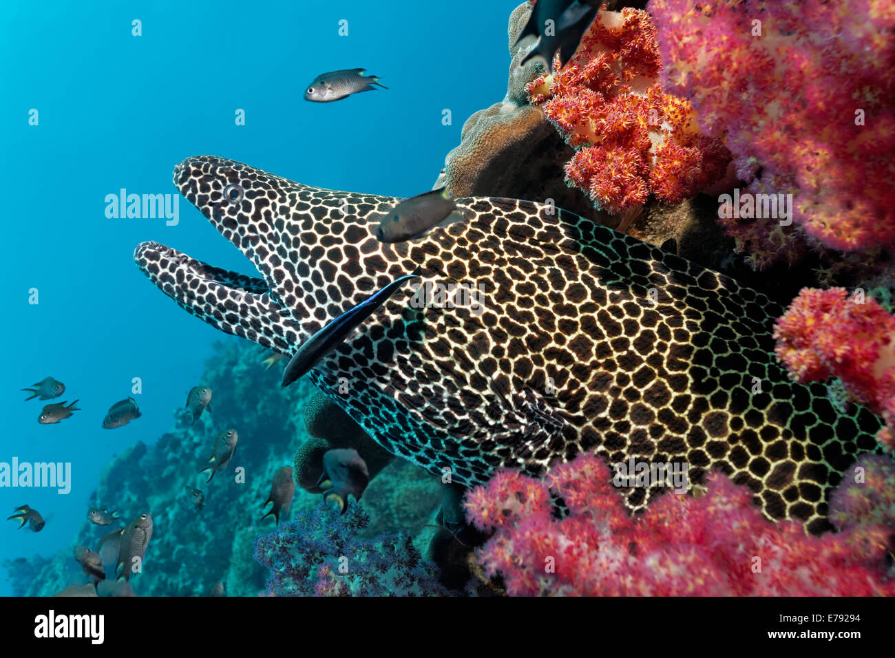 Laced Moray (Gymnothorax favagineus) at a coral reef with soft corals, Dimaniyat Islands nature reserve, Al Batinah - Stock Image