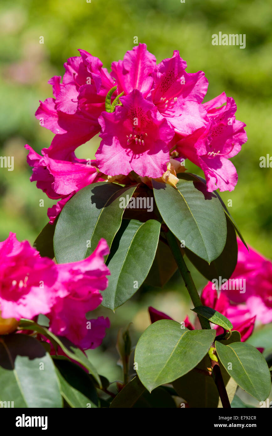Williams Rhododendron (Rhododendron williamsianum), flowering, Thuringia, Germany - Stock Image