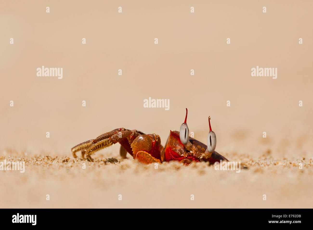 Red beach Crab (Brachyura) at its lair, Ngapali Beach, Thandwe, Myanmar - Stock Image