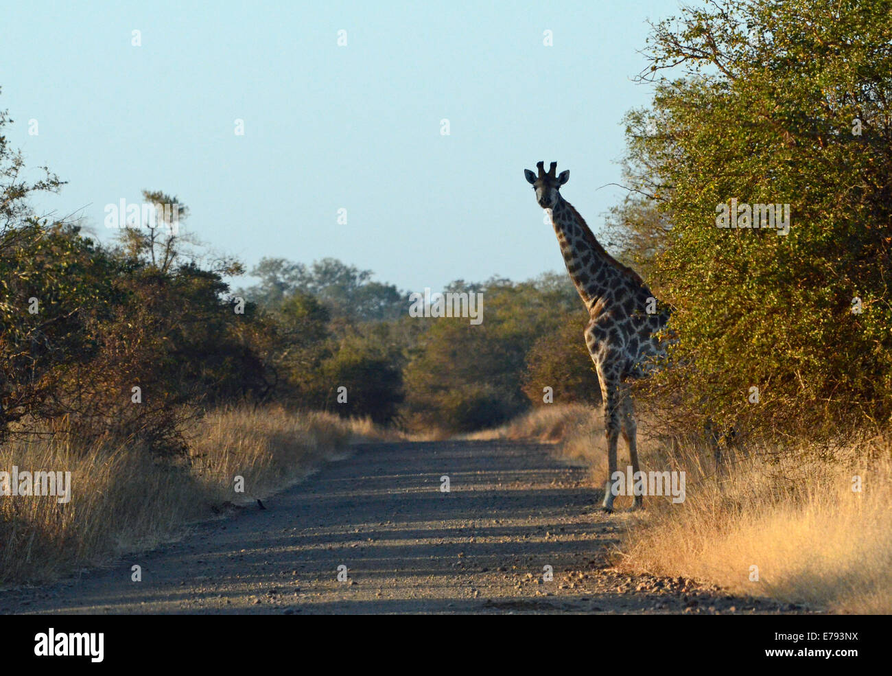 Giraffe on edge of dirt road, silhouetted against blue sky. Early morning shot. Kruger National park, winter scene. - Stock Image
