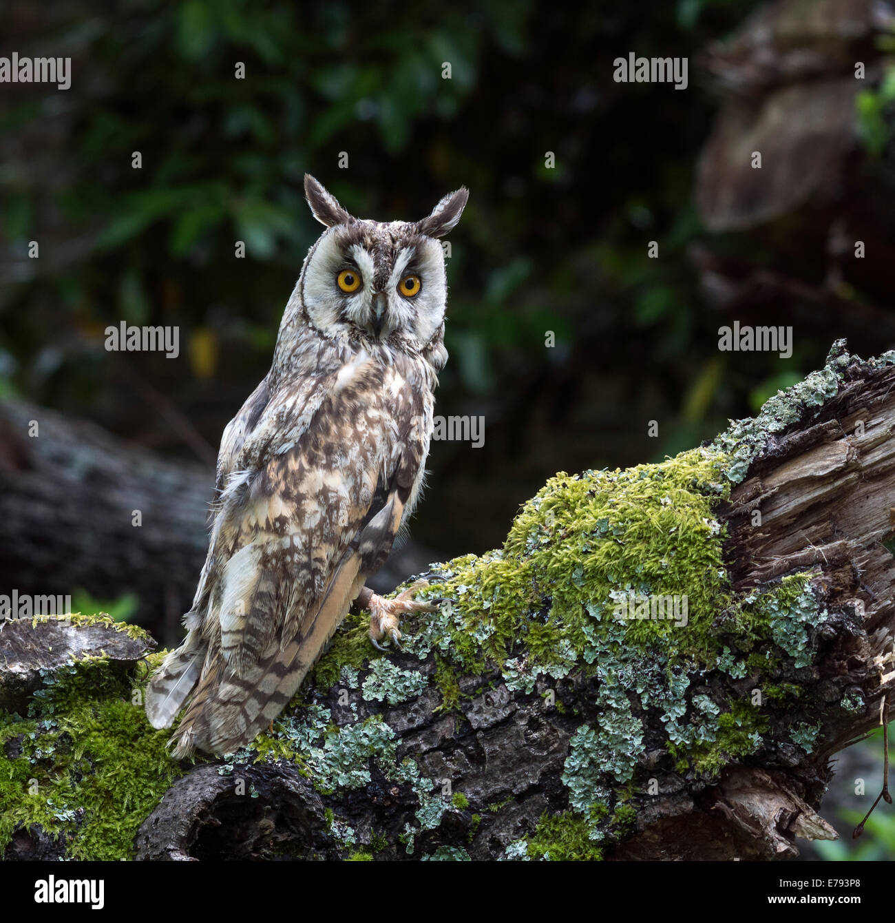 Long Eared Owl (Asio otus, previously Strix otus). Not a wild owl - Stock Image