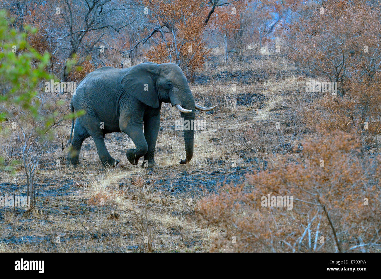 African elephant walking across game path in burnt savannah with green leaves on tree. Kruger National Park, South - Stock Image