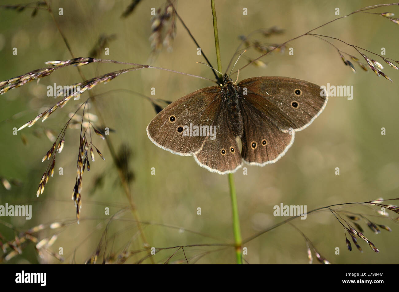 One ringlet butterfly at rest on a grass UK - Stock Image