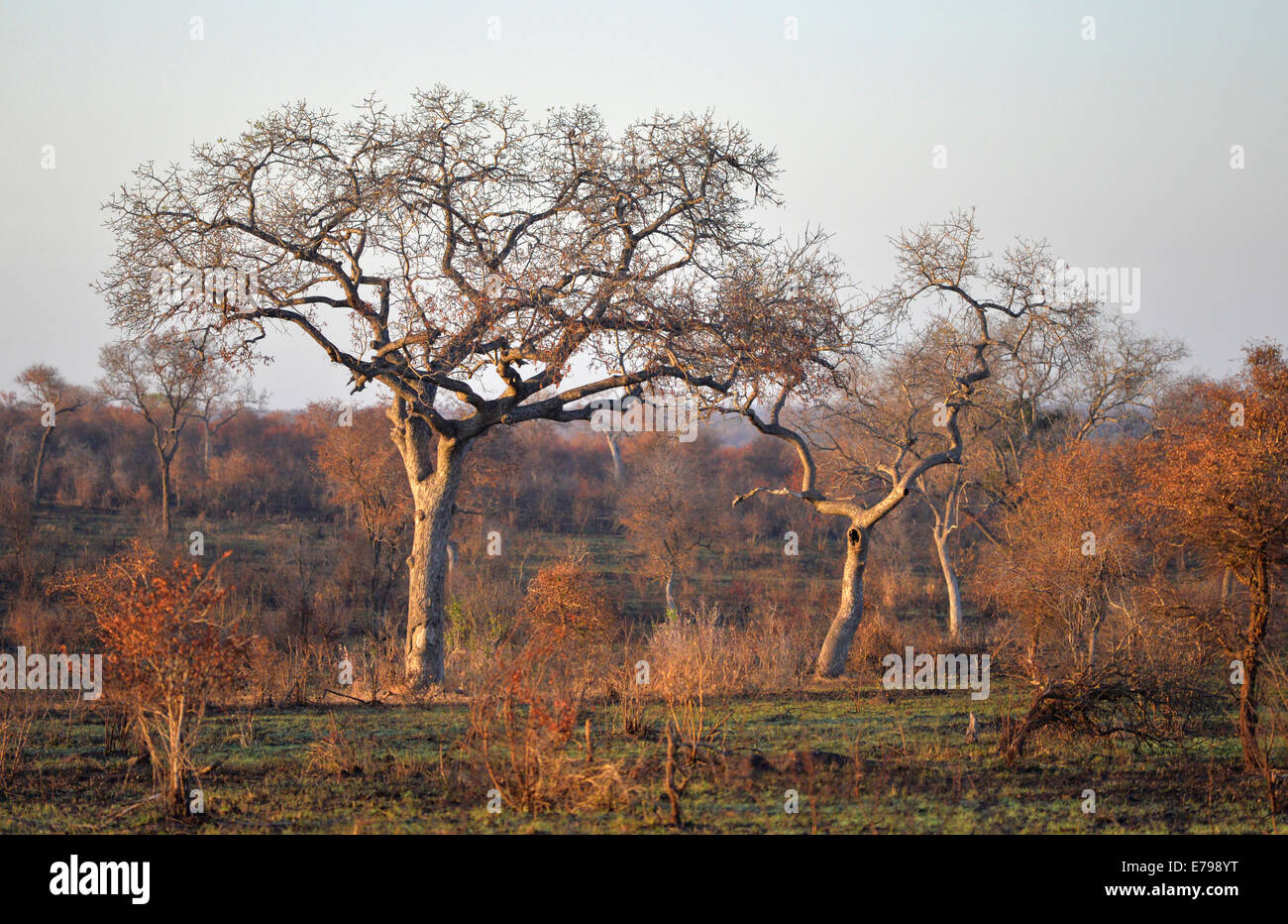 Burnt savannah in Kruger National Park, South Africa - Stock Image