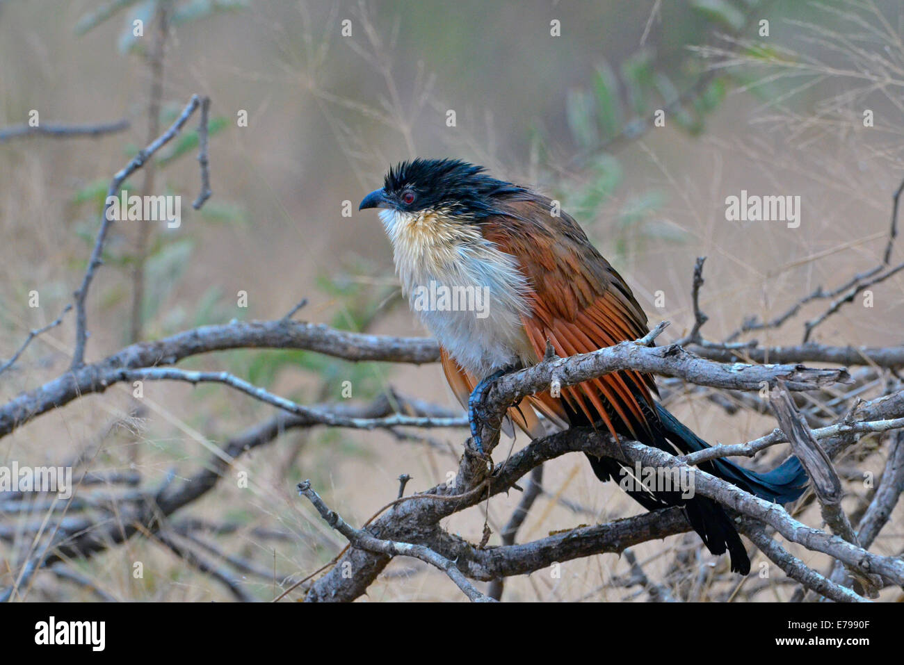 Wet burchell's coucal slumped on a branch in Kruger National Park, South Africa - Stock Image