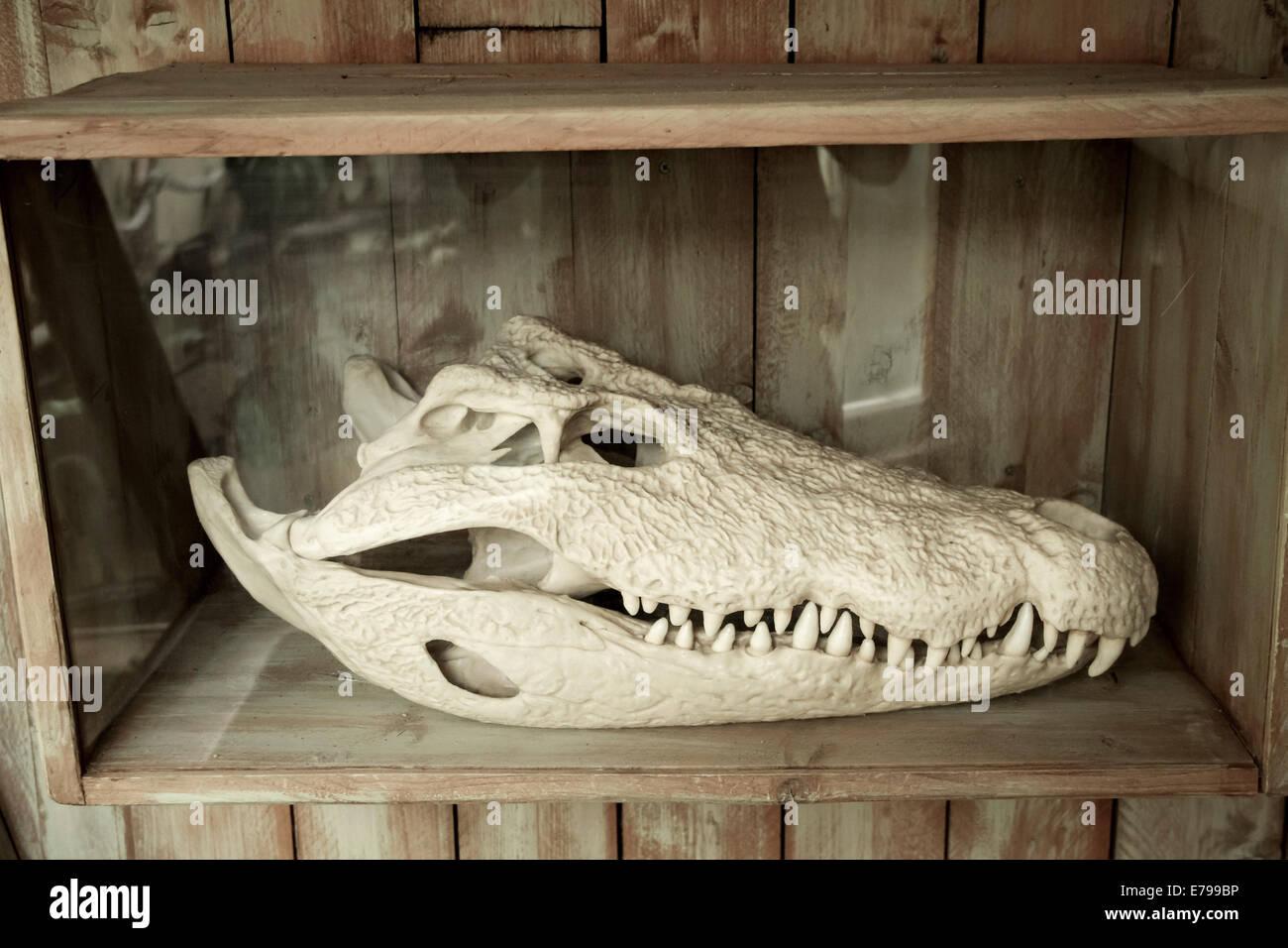 Crocodile Skeleton Stock Photos & Crocodile Skeleton Stock Images ...