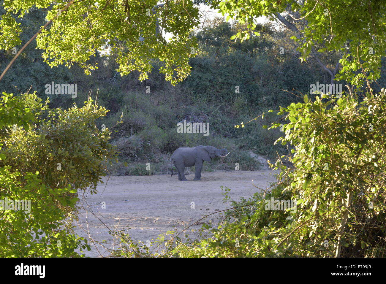 Elephant bull digging for water in sandy river bed, Kruger National Park, South Africa - Stock Image