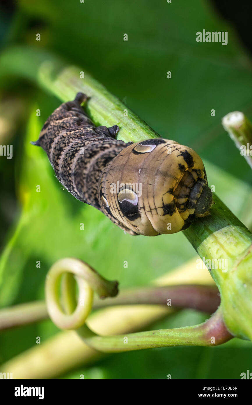 Caterpillar of Elephant Hawkmoth on grapevine in domestic garden England UK showing markings to frighten off predators. - Stock Image