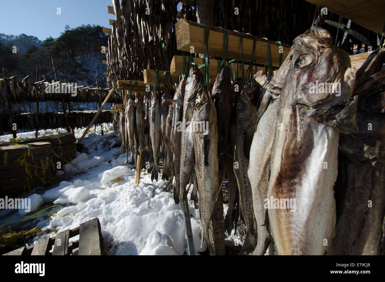 Drying pollack on the mountainside in winter. - Stock Image