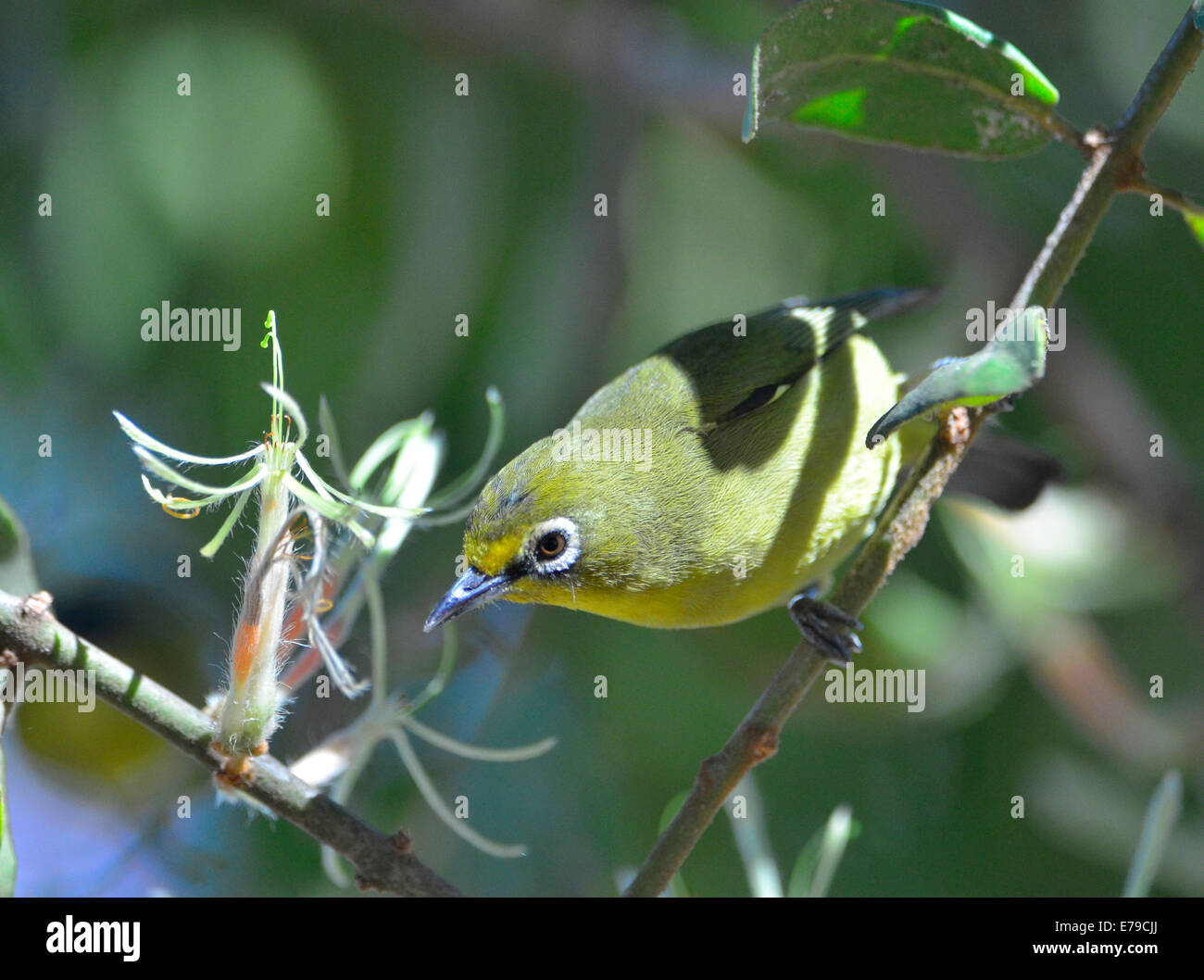 Cape whit-eye bird eating nectar from parasitic plant, Kruger Park, South Africa - Stock Image