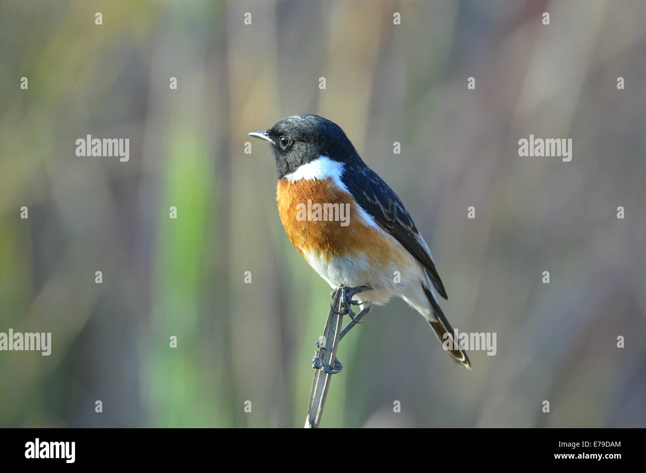 Stone chat bird perching on reed in Kruger Park, South Africa. - Stock Image