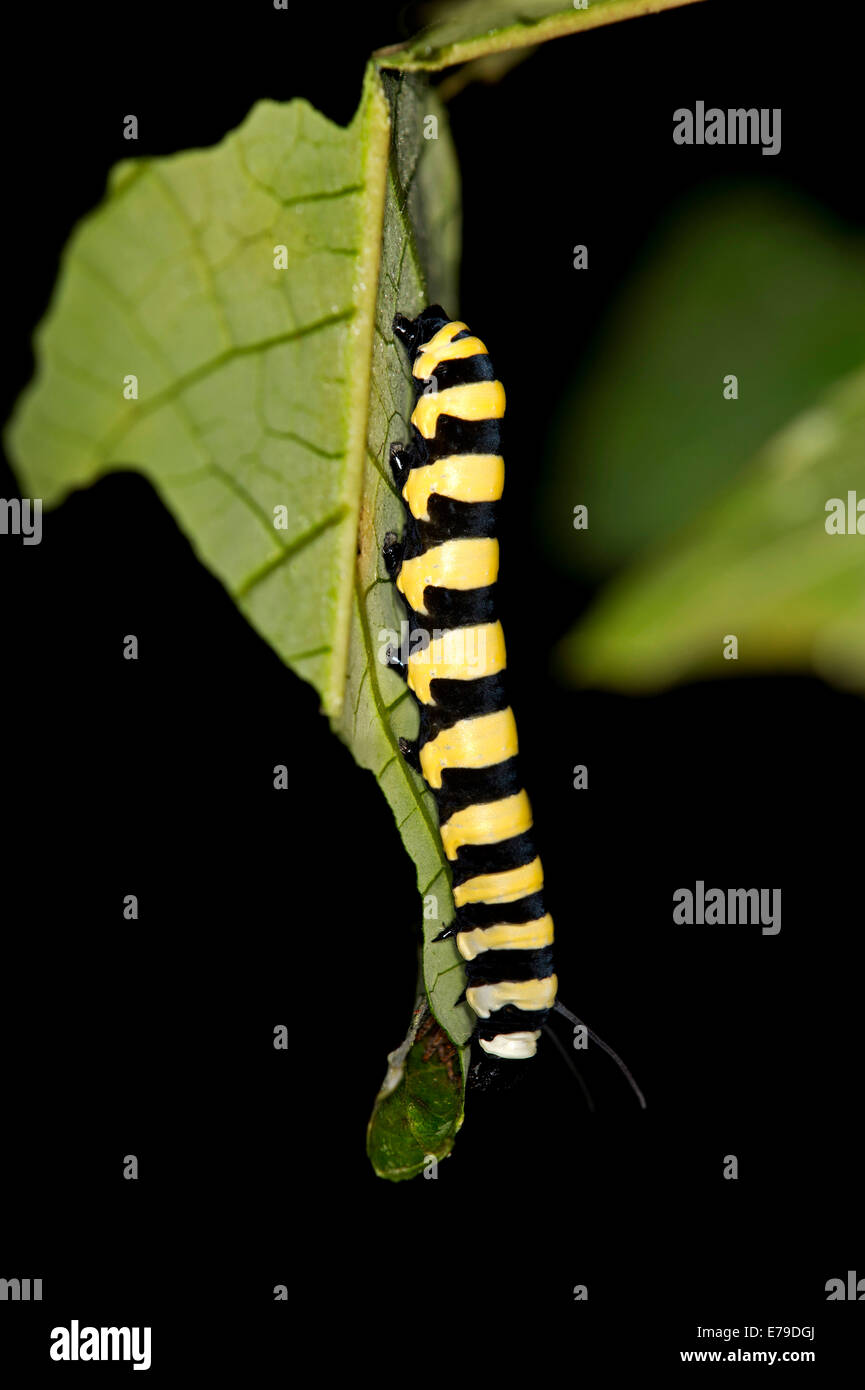 Larva of a glass wing butterfly (Methona spec., possibly Methona confusa), Tambopata Nature Reserve, Madre de Dios - Stock Image