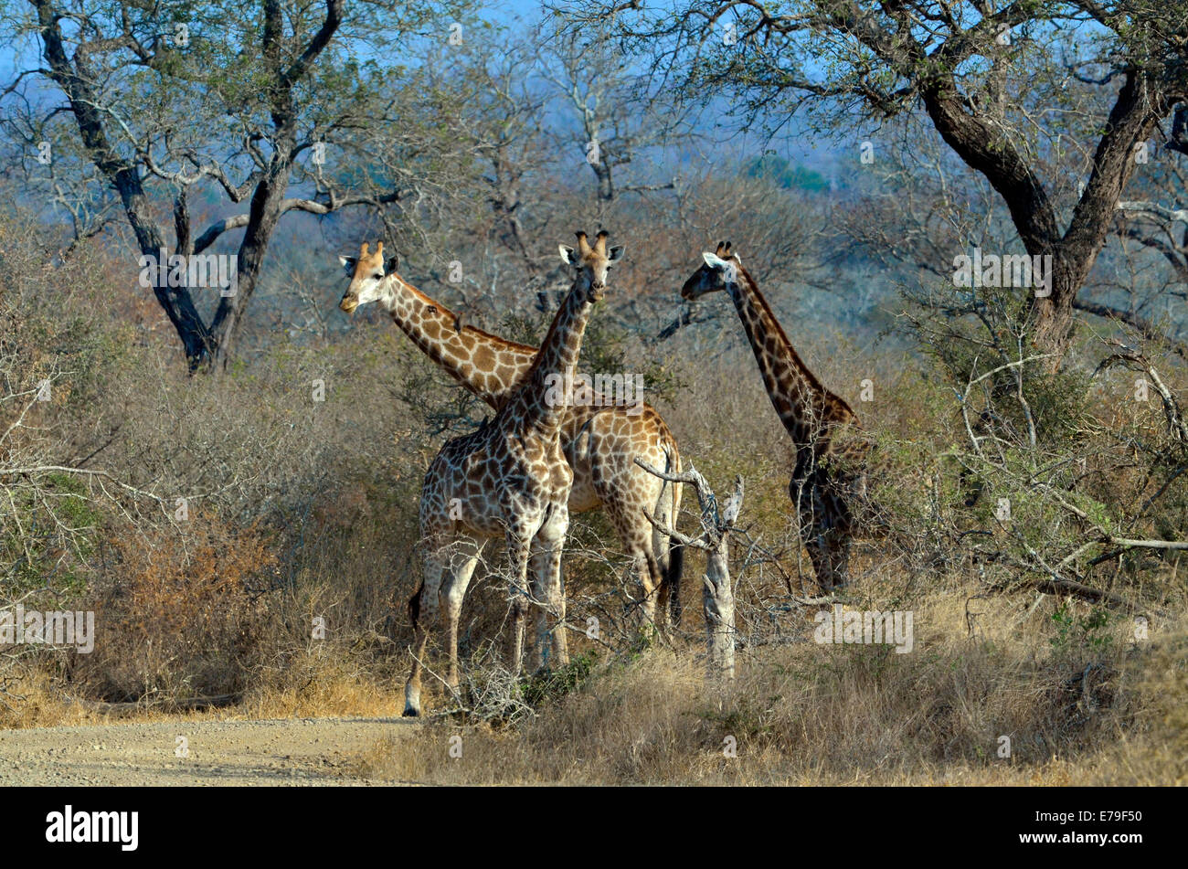 Three giraffes standing in road under tall acaia trees in Kruger Park, South Africa. - Stock Image