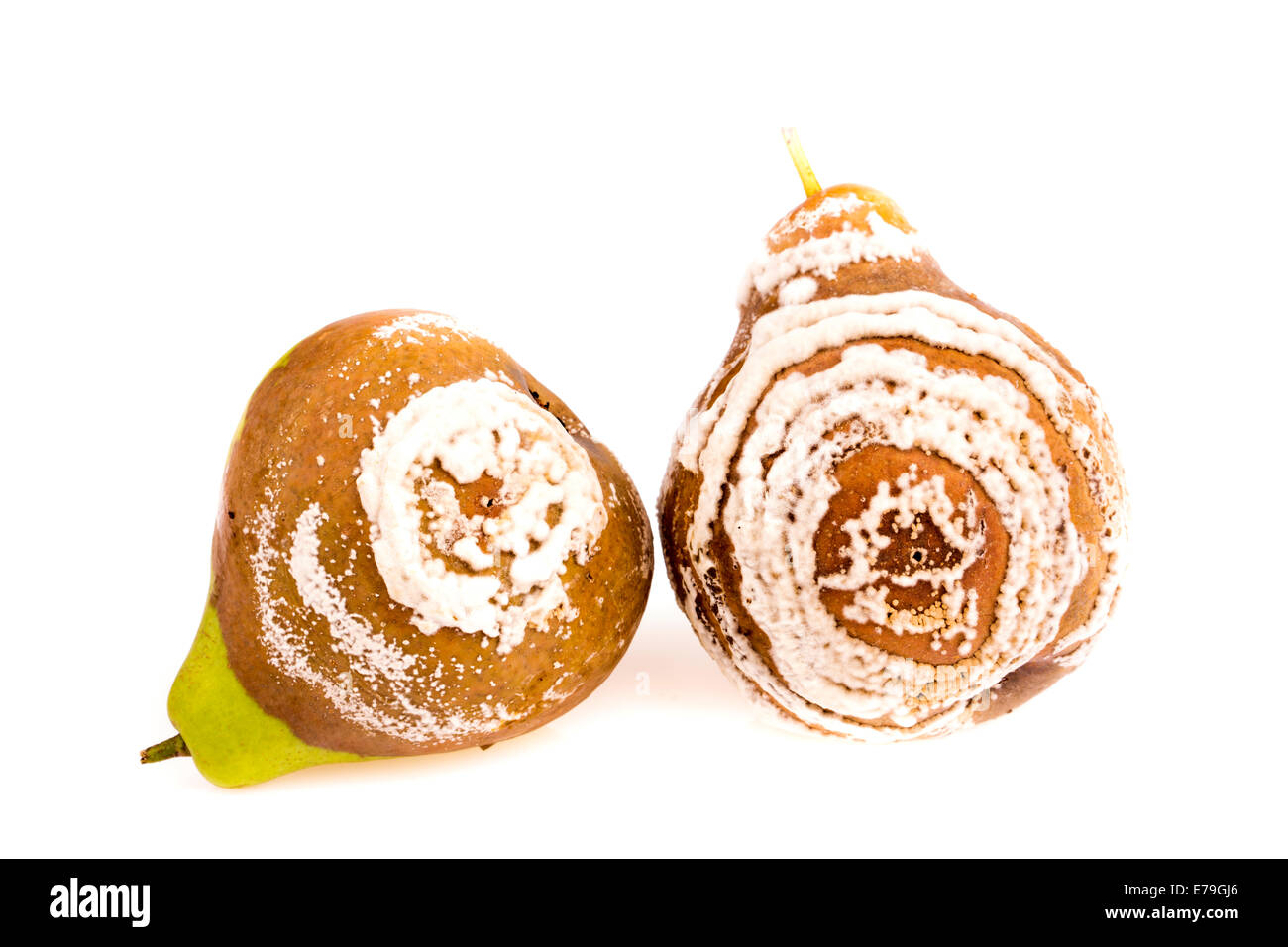 Two rotten pear studio isolated - Stock Image