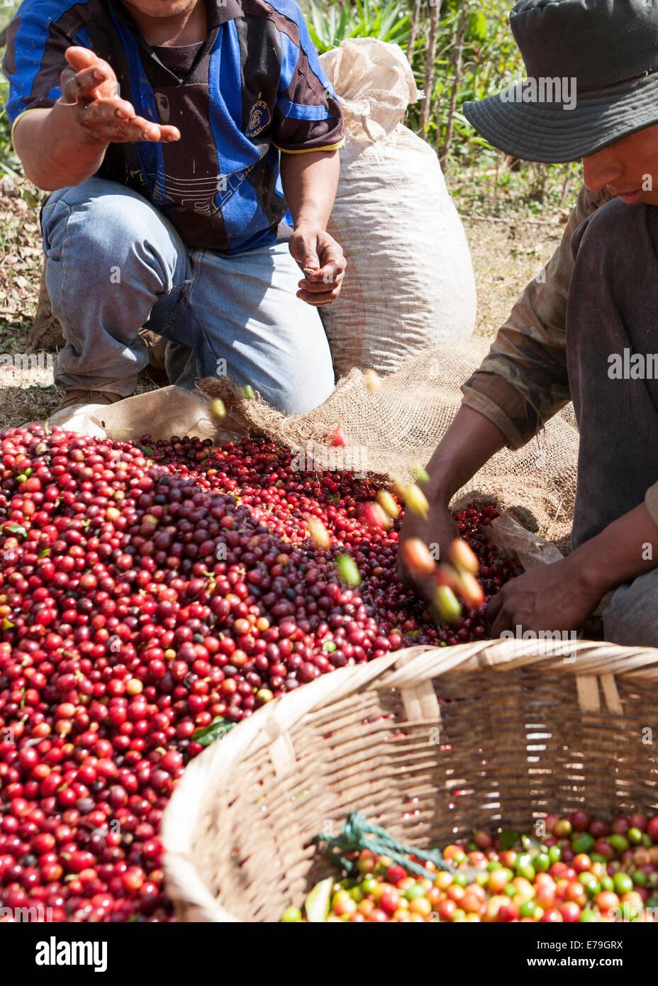 Coffee Production El Salvador - Stock Image