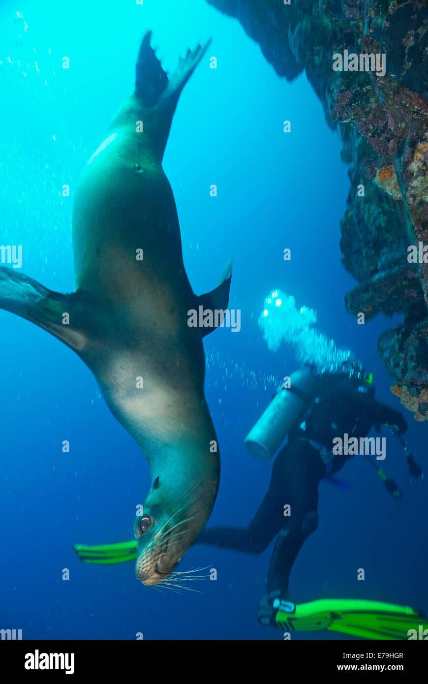 Scuba diving - Sea lion (Zalophus californianus) swimming by scuba diver, Galapagos archipelago, Wolf Island, Pacific - Stock Image