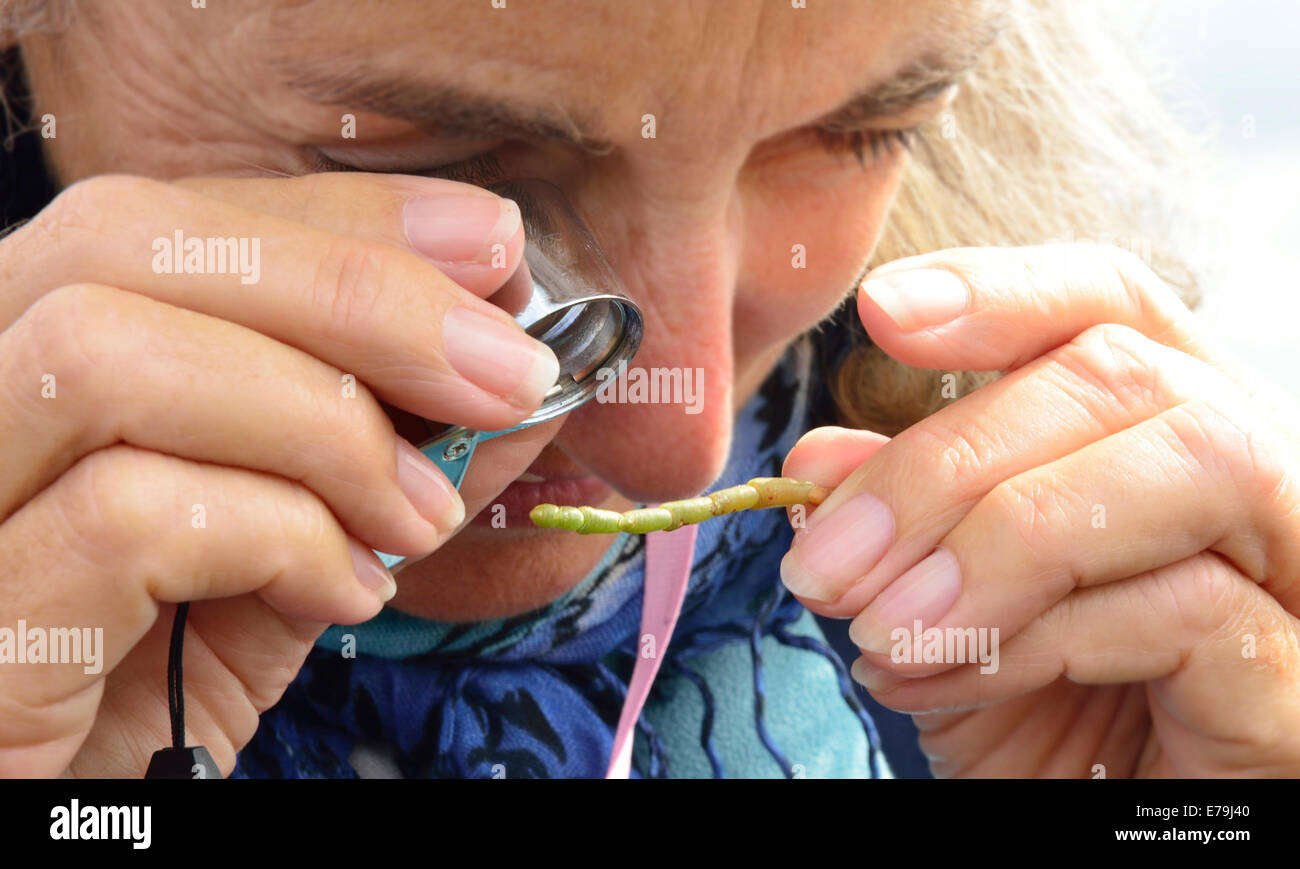 A woman  studying samphire with a biologist field glass on the Salt mashes of  Chichester Harbour ,Northney,  Hayling - Stock Image