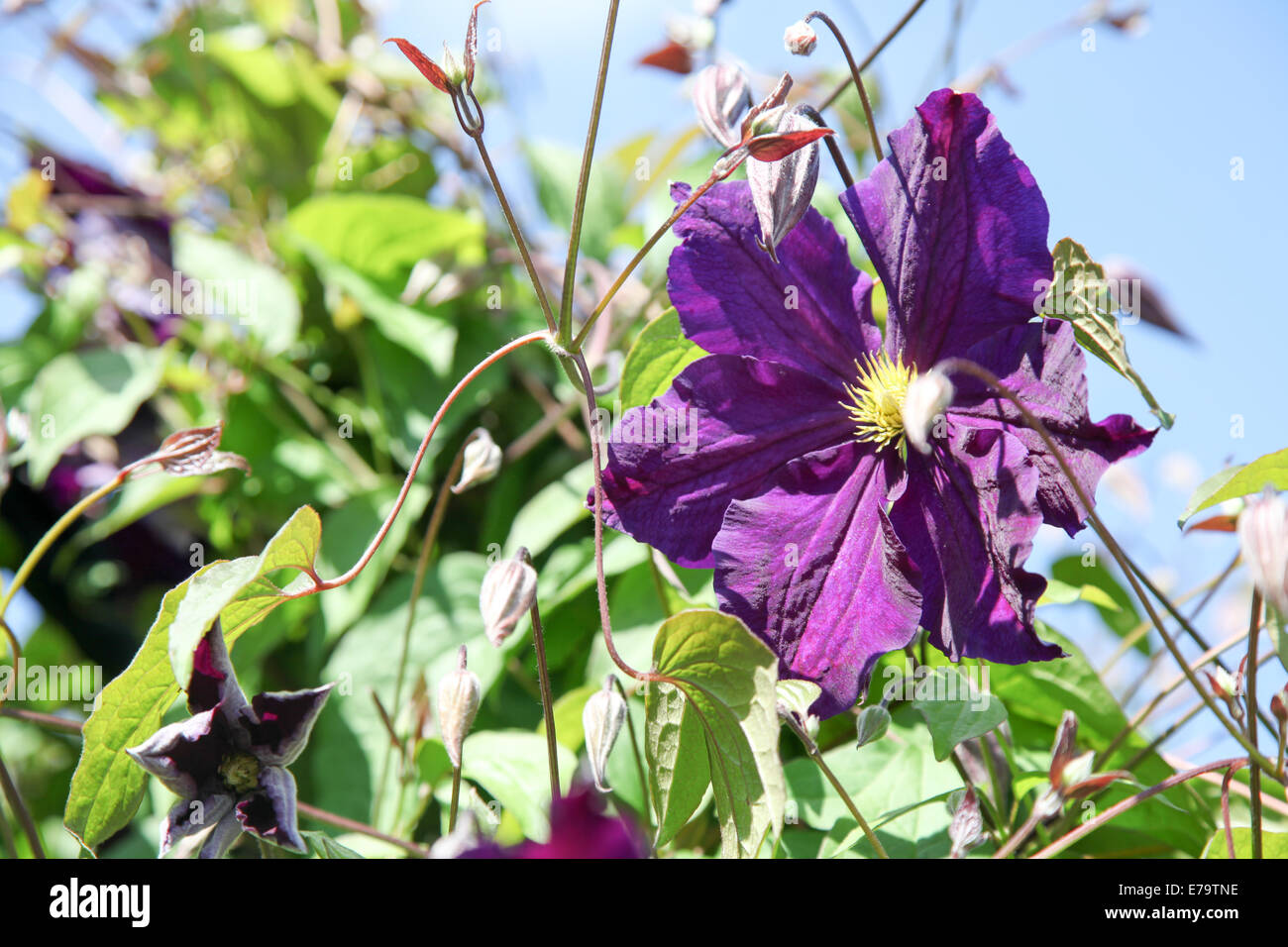 Clematis 'Viola' against a blue sky with foliage and buds - Stock Image