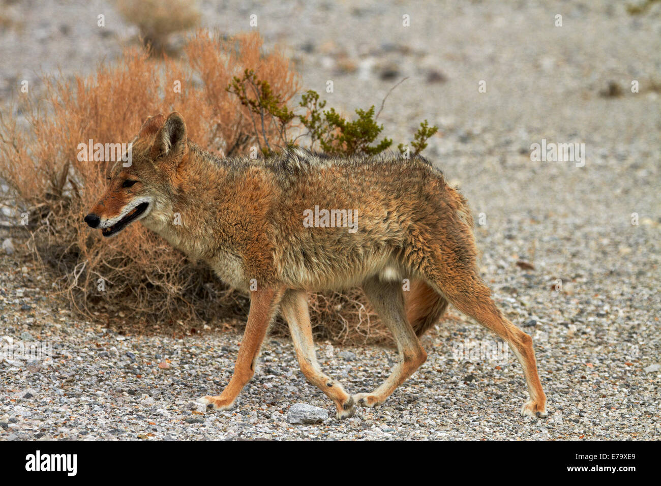 Coyote (Canis latrans), camouflaged against dry bush, Badwater Basin, Death Valley National Park, Mojave Desert, - Stock Image
