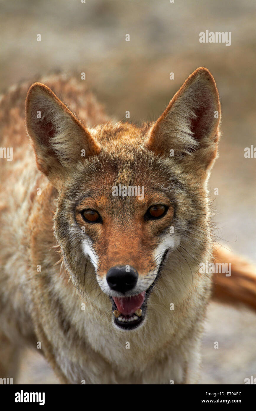 Coyote (Canis latrans), Badwater Basin, Death Valley National Park, Mojave Desert, California, USA - Stock Image