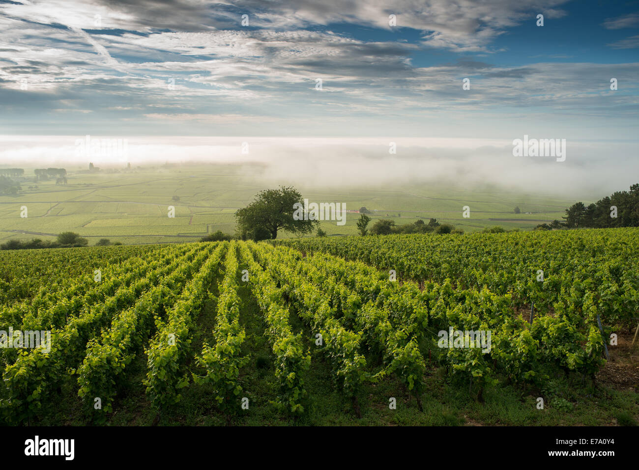 Vineyard. Pommard, Cote de Beaune, d'Or, Burgundy, France - Stock Image