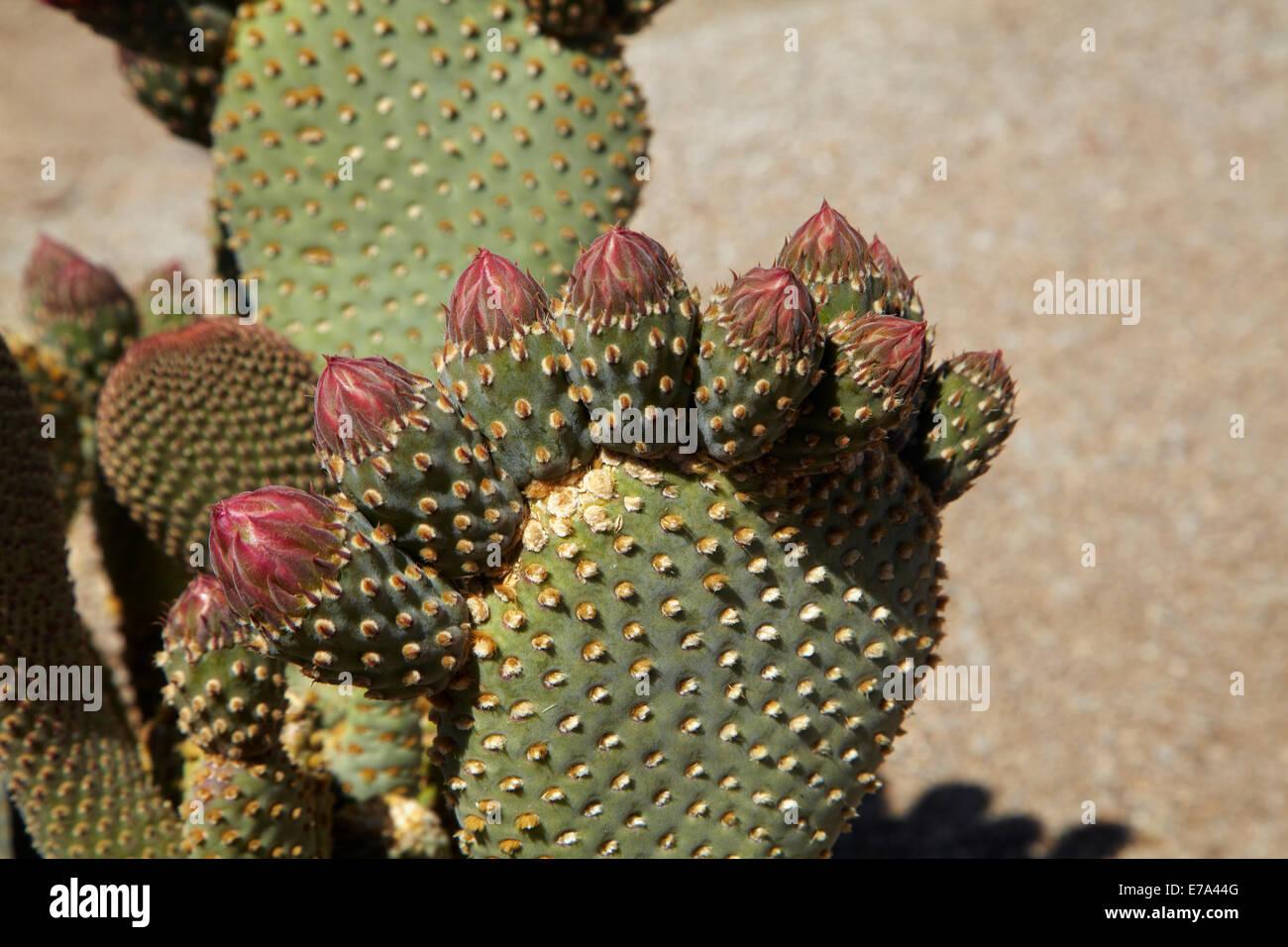 Beavertail Cactus in flower (Opuntia basilaris var. whitneyana), found only in Alabama Hills, near Lone Pine, Inyo - Stock Image