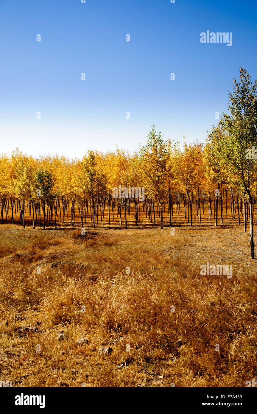 Trees with yellow leaves and fall colors in field in rural china - Stock Image